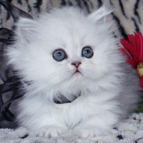 Wallpaper Kucing Persia Sepasangsaja Blogspot Com